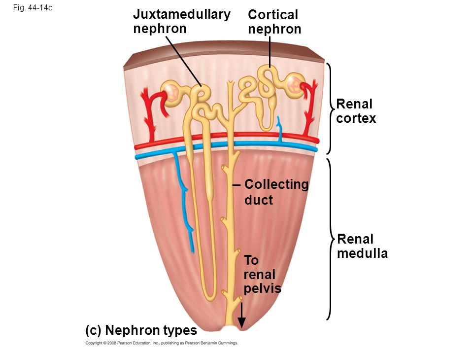 Juxtamedullary Cortical nephron nephron Renal cortex Collecting duct