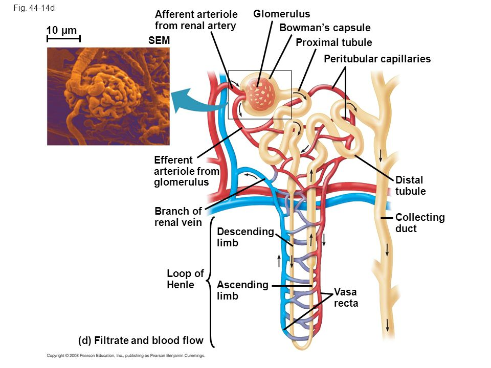 anatomy and physiology lab osmosis and diffusion outline e Lab manual: exploring anatomy & physiology in the laboratory: core concepts   (course goal 2 gen ed 1,3,4 core a,b,d,e)  (diffusion, osmosis, tonicity.