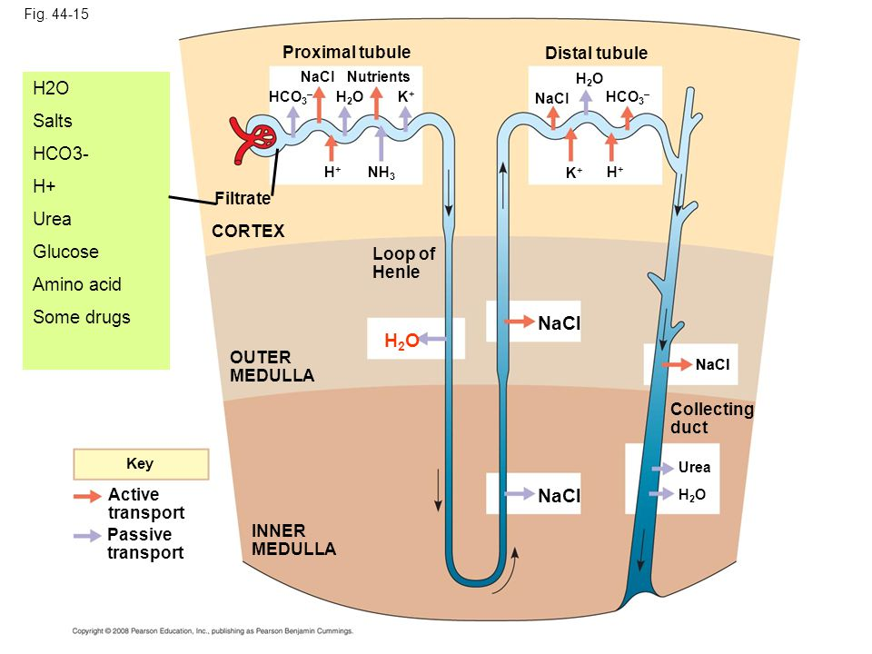 NaCl H2O NaCl H2O Salts HCO3- H+ Urea Glucose Amino acid Some drugs