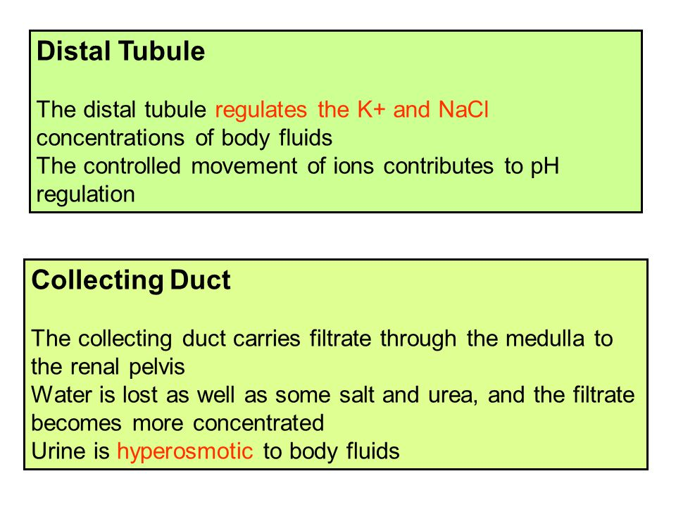 Distal Tubule Collecting Duct