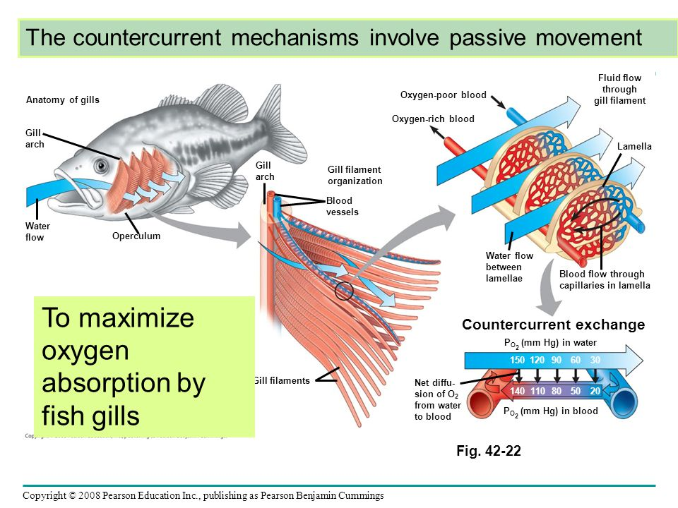 To maximize oxygen absorption by fish gills