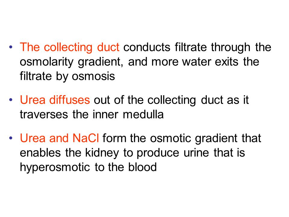 The collecting duct conducts filtrate through the osmolarity gradient, and more water exits the filtrate by osmosis