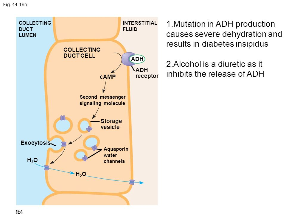 2.Alcohol is a diuretic as it inhibits the release of ADH