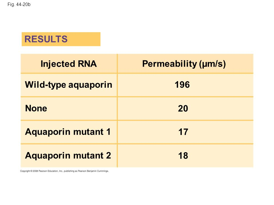 RESULTS Injected RNA Permeability (µm/s) Wild-type aquaporin 196 None