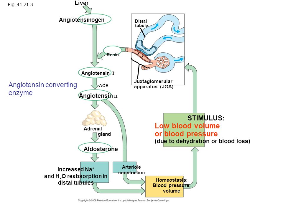 Low blood volume or blood pressure Angiotensin converting enzyme