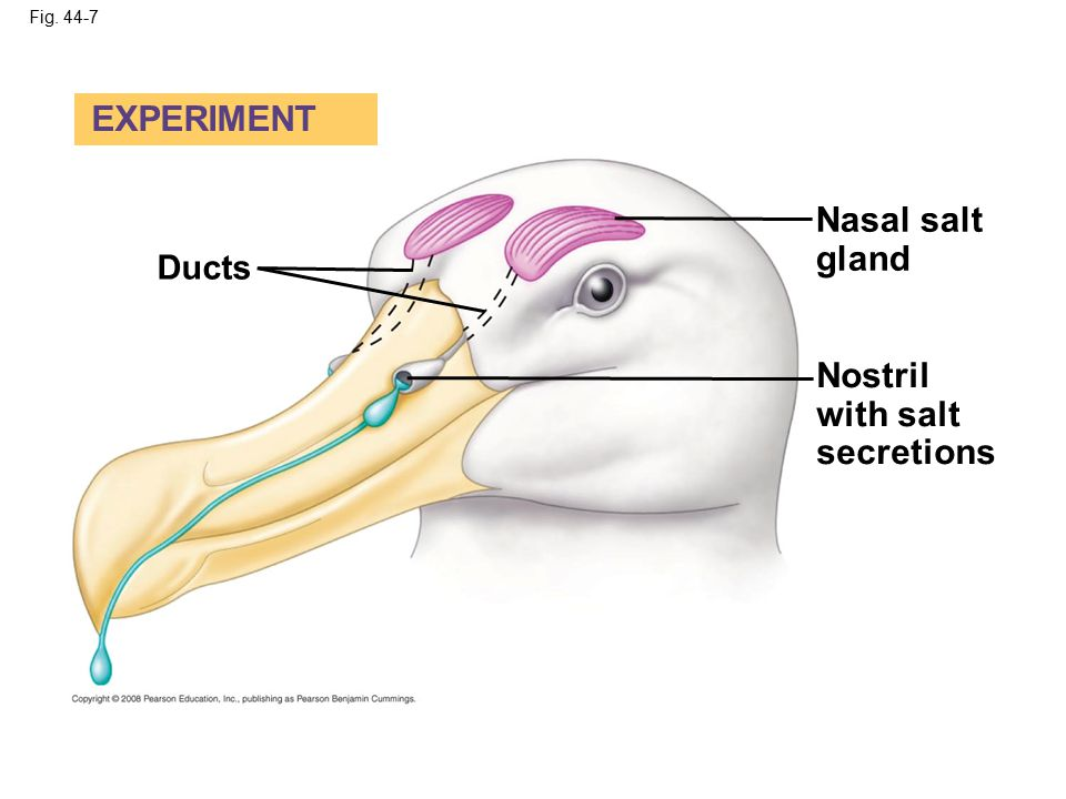 EXPERIMENT Nasal salt gland Nostril with salt secretions Ducts