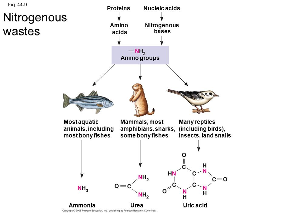Nitrogenous wastes Proteins Nucleic acids Amino acids Nitrogenous