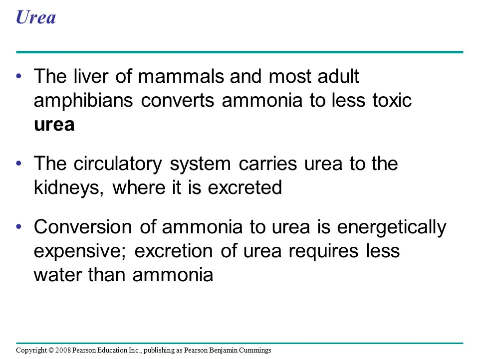 Urea The liver of mammals and most adult amphibians converts ammonia to less toxic urea.