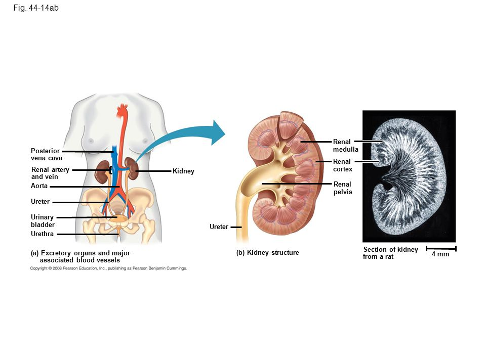 Figure 44.14ab The mammalian excretory system