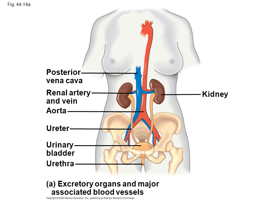 (a) Excretory organs and major associated blood vessels