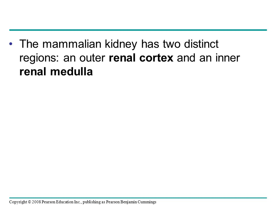 The mammalian kidney has two distinct regions: an outer renal cortex and an inner renal medulla