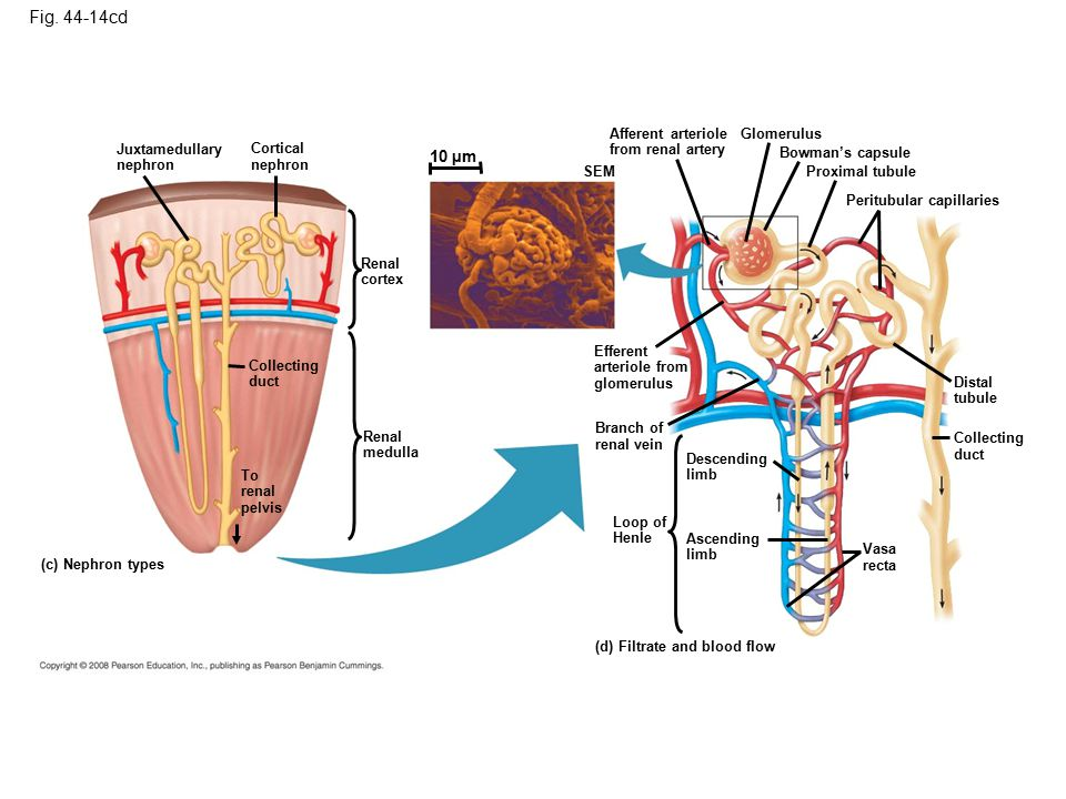 Figure 44.14cd The mammalian excretory system