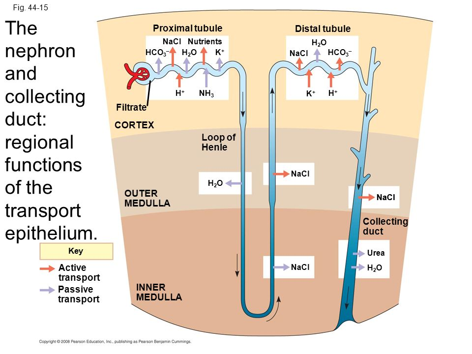 Fig. 44-15 The nephron and collecting duct: regional functions of the transport epithelium. Proximal tubule.