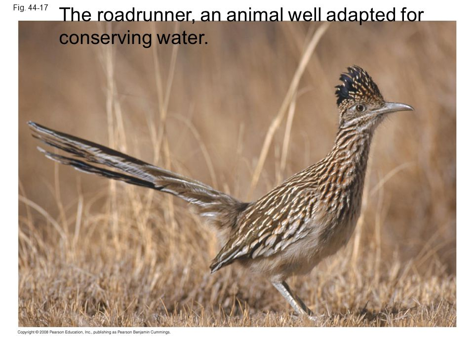 The roadrunner, an animal well adapted for conserving water.