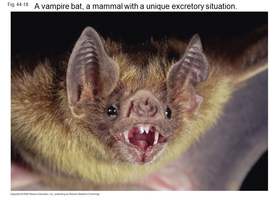 A vampire bat, a mammal with a unique excretory situation.