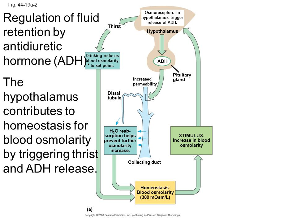 Regulation of fluid retention by antidiuretic hormone (ADH).