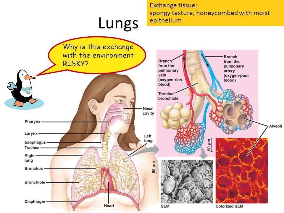 Exchange tissue: spongy texture, honeycombed with moist epithelium