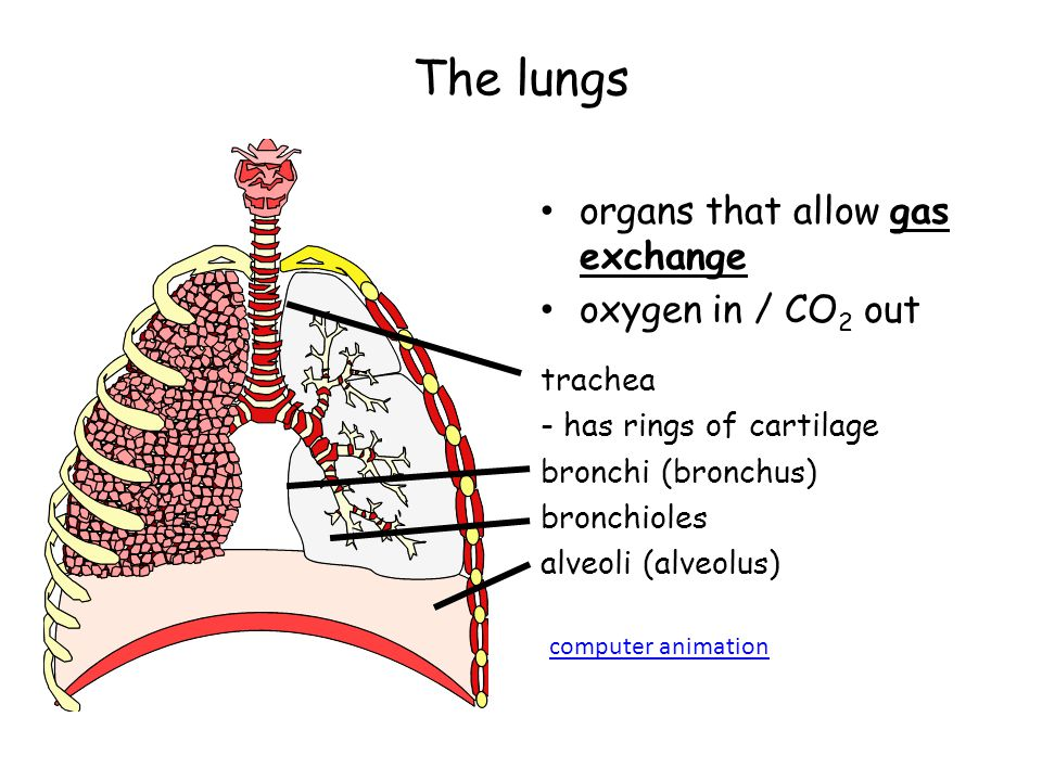 The lungs organs that allow gas exchange oxygen in / CO2 out trachea