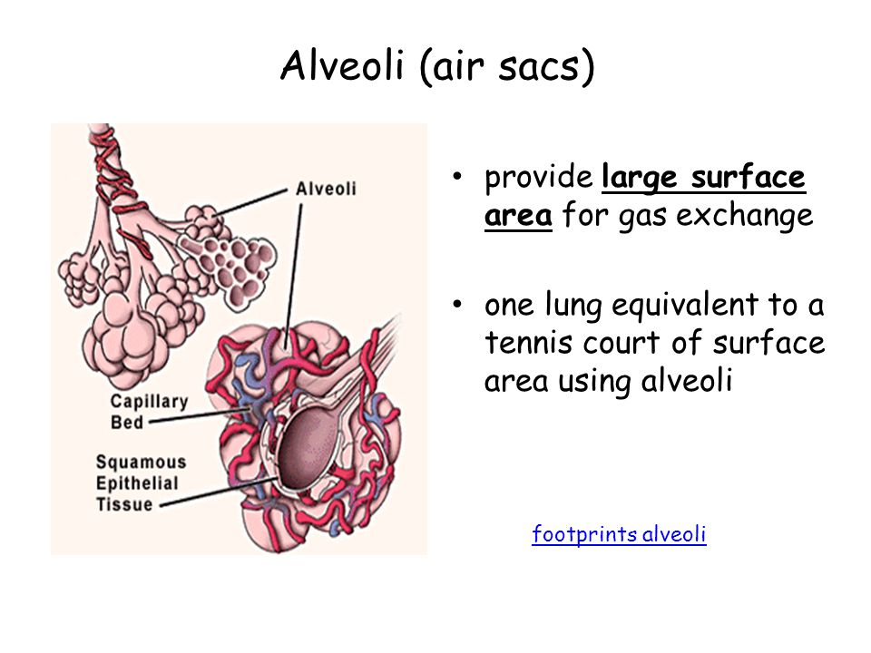 Alveoli (air sacs) provide large surface area for gas exchange