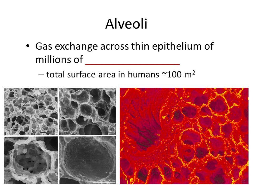 Alveoli Gas exchange across thin epithelium of millions of _________________.