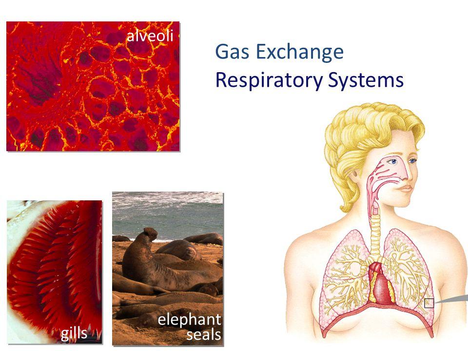 Gas Exchange Respiratory Systems alveoli elephant seals gills
