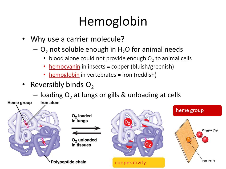 Hemoglobin Why use a carrier molecule Reversibly binds O2
