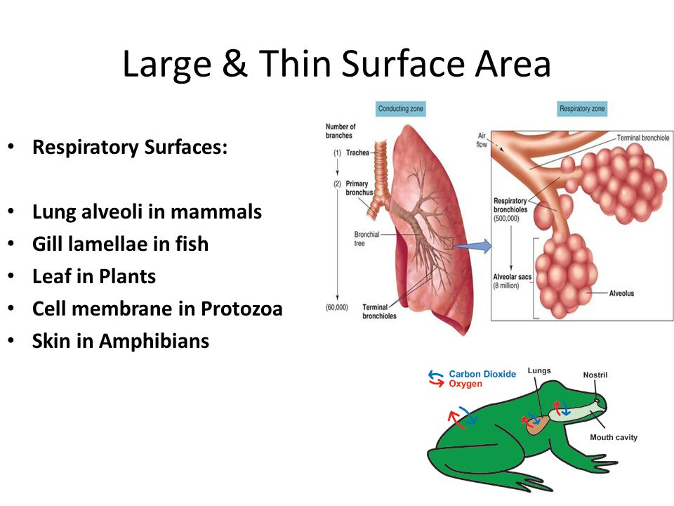 Large & Thin Surface Area