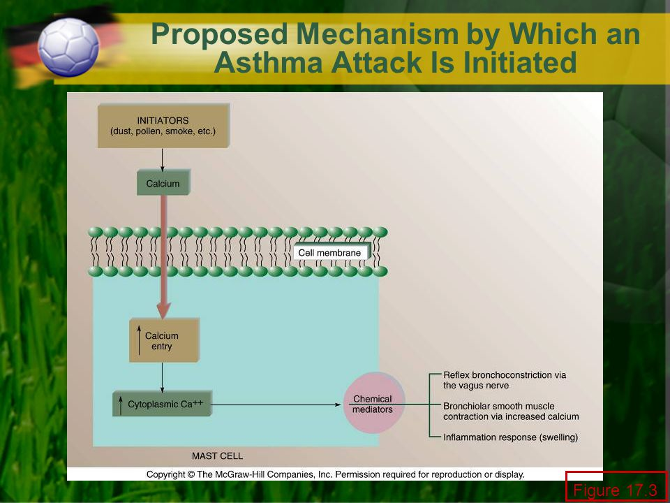 Proposed Mechanism by Which an Asthma Attack Is Initiated