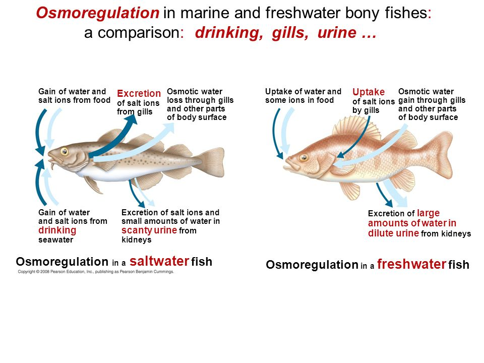 Osmoregulation in marine and freshwater bony fishes: a comparison: drinking, gills, urine …