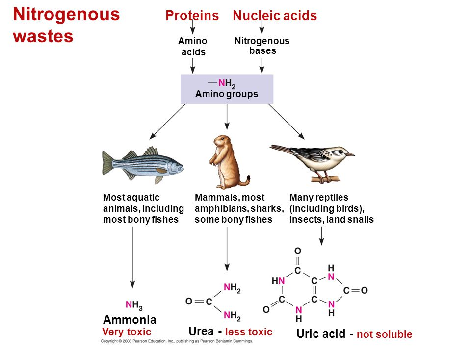 Nitrogenous wastes Proteins Nucleic acids Ammonia Urea - less toxic