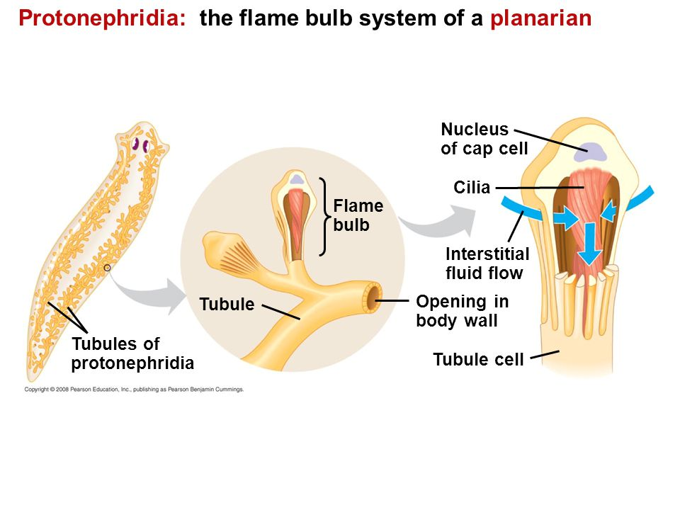 Protonephridia: the flame bulb system of a planarian