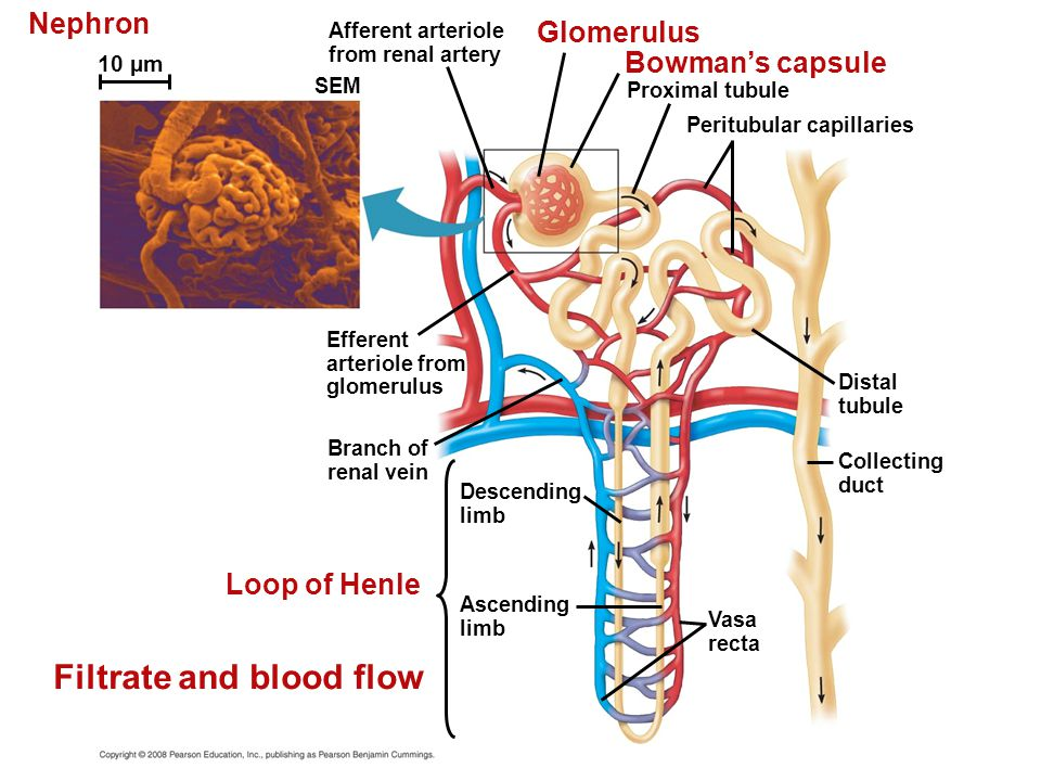 Filtrate and blood flow