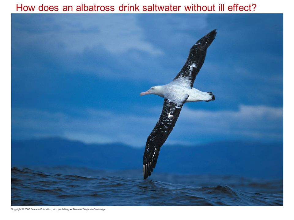 How does an albatross drink saltwater without ill effect