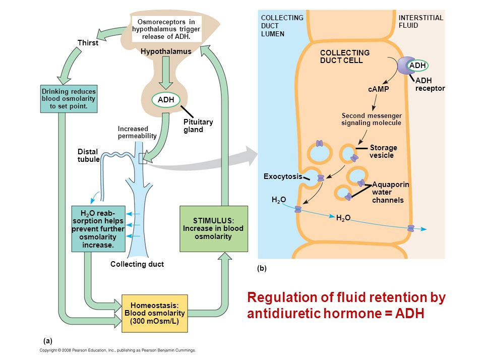 Regulation of fluid retention by antidiuretic hormone = ADH