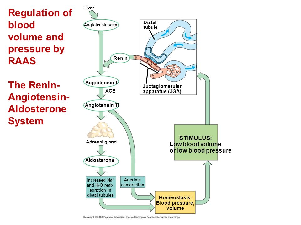 Regulation of blood volume and pressure by RAAS The Renin-Angiotensin-Aldosterone System