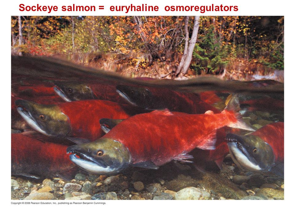 Sockeye salmon = euryhaline osmoregulators
