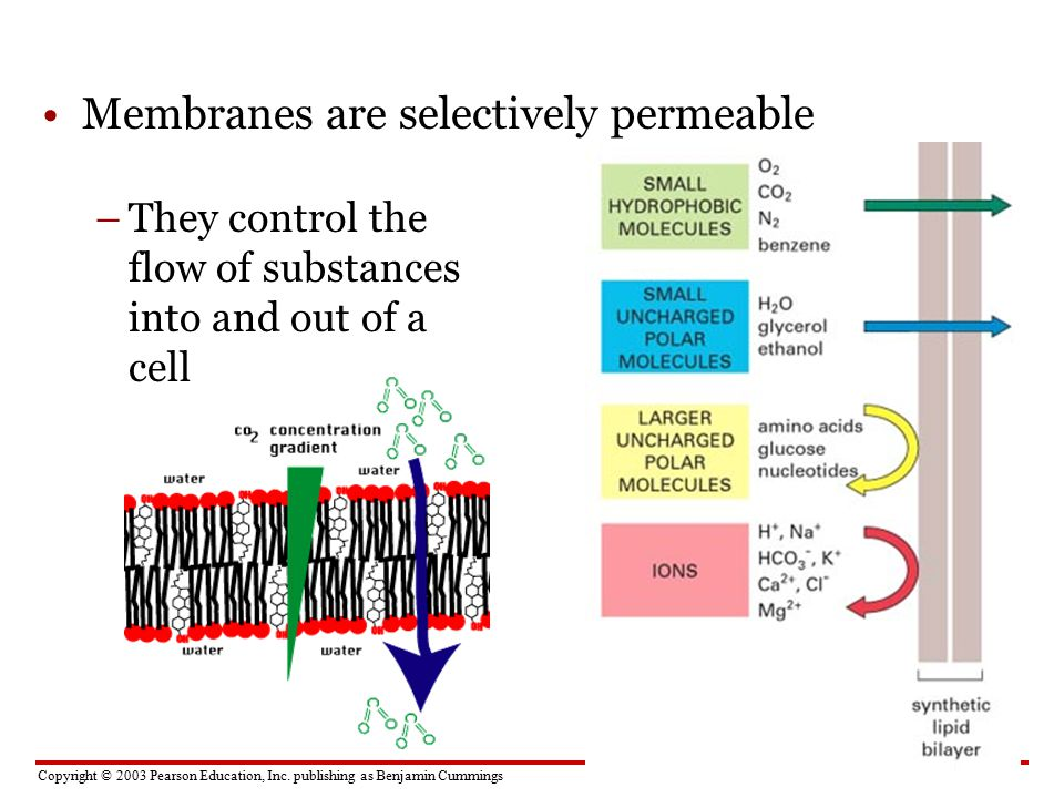 Membranes are selectively permeable