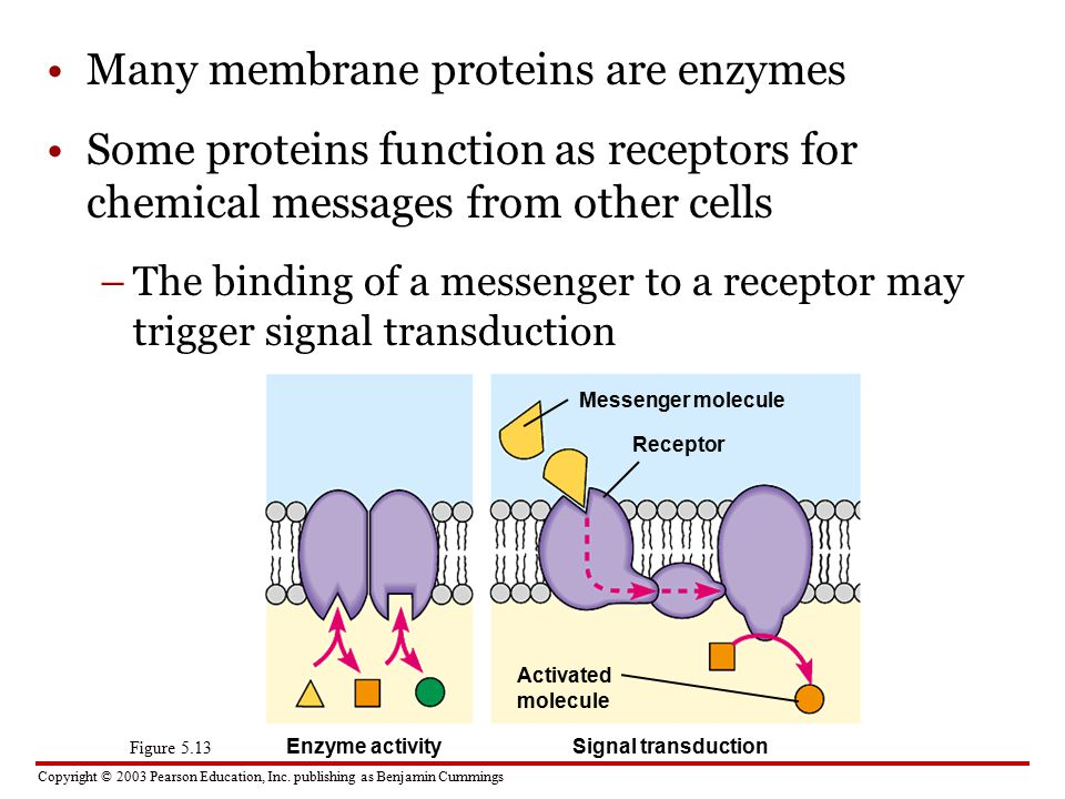 Many membrane proteins are enzymes