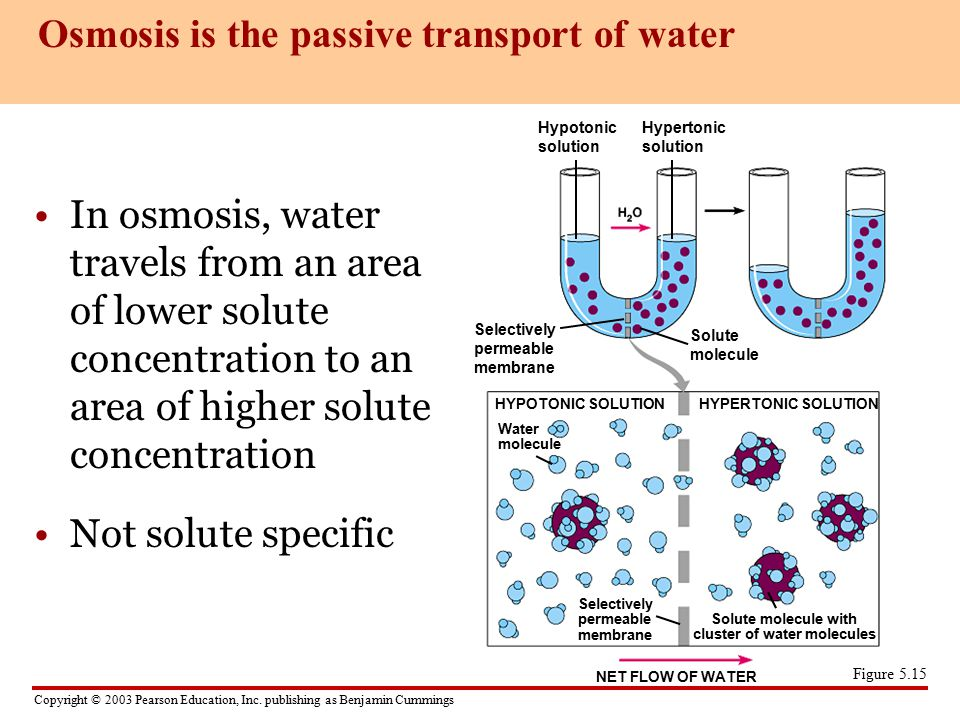 Osmosis is the passive transport of water