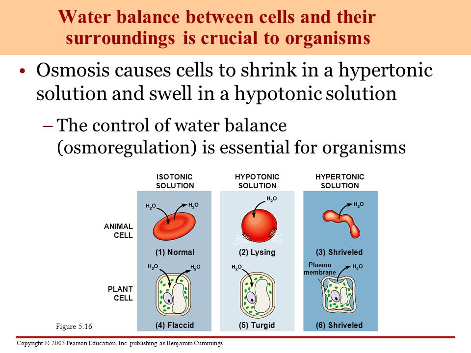Water balance between cells and their surroundings is crucial to organisms