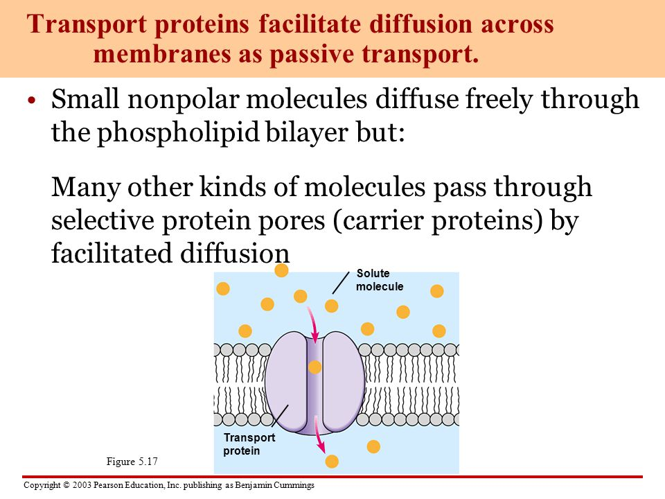 Transport proteins facilitate diffusion across membranes as passive transport.