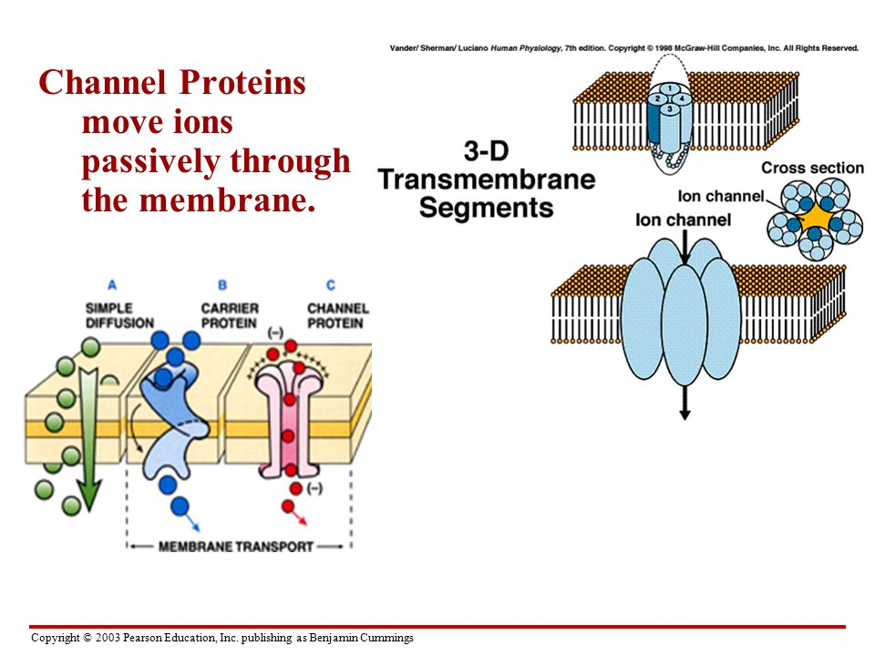 Channel Proteins move ions passively through the membrane.