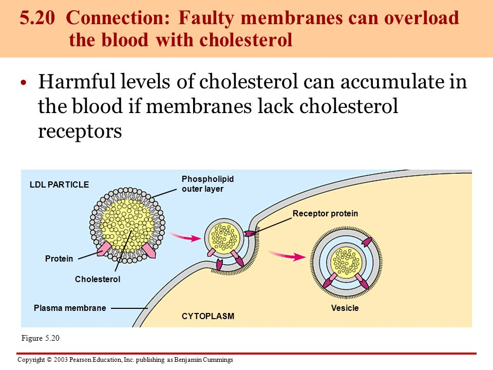 5.20 Connection: Faulty membranes can overload the blood with cholesterol