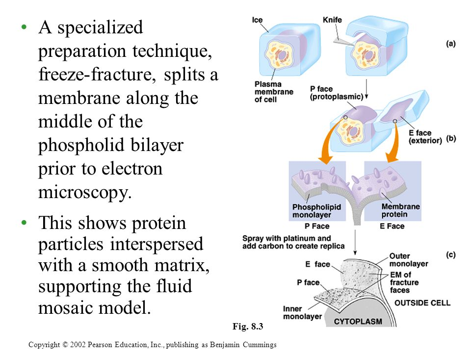 A specialized preparation technique, freeze-fracture, splits a membrane along the middle of the phospholid bilayer prior to electron microscopy.