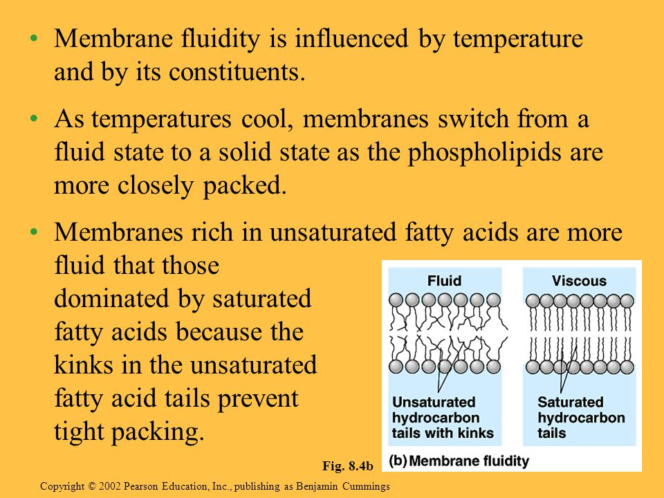 Membrane fluidity is influenced by temperature and by its constituents.