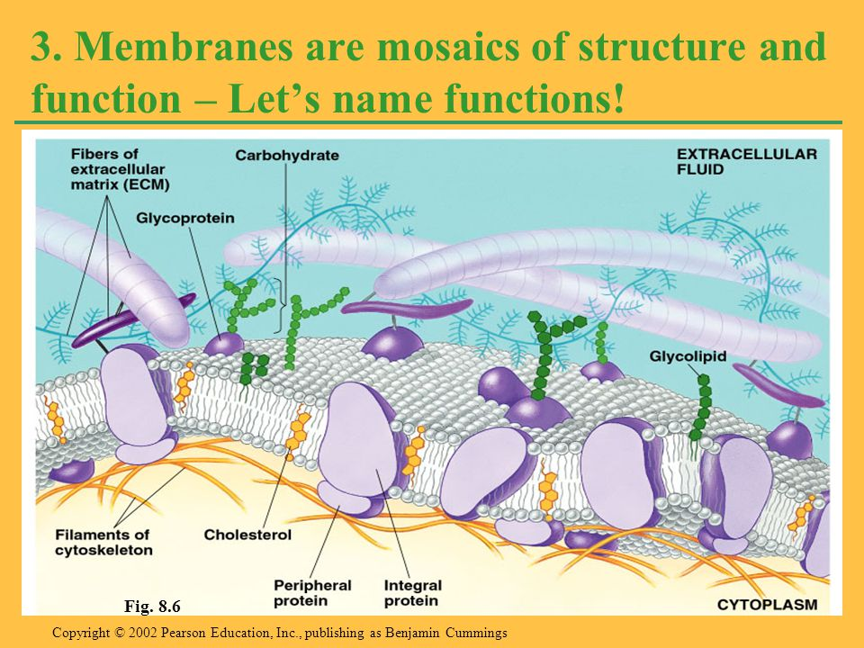3. Membranes are mosaics of structure and function – Let's name functions!