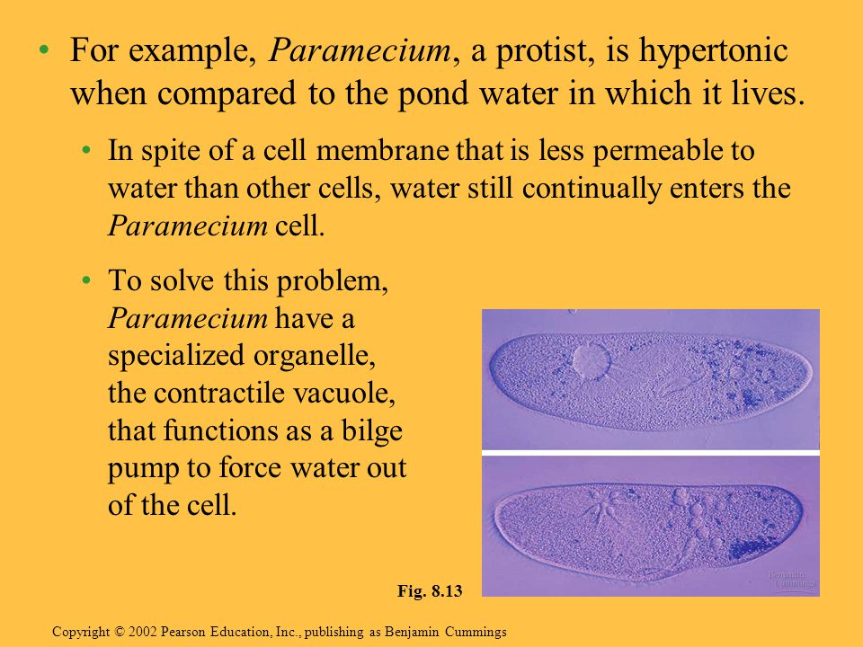 For example, Paramecium, a protist, is hypertonic when compared to the pond water in which it lives.