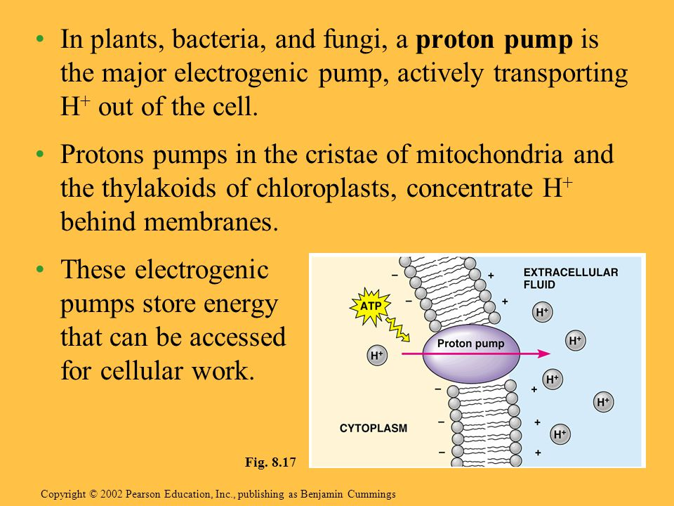 In plants, bacteria, and fungi, a proton pump is the major electrogenic pump, actively transporting H+ out of the cell.