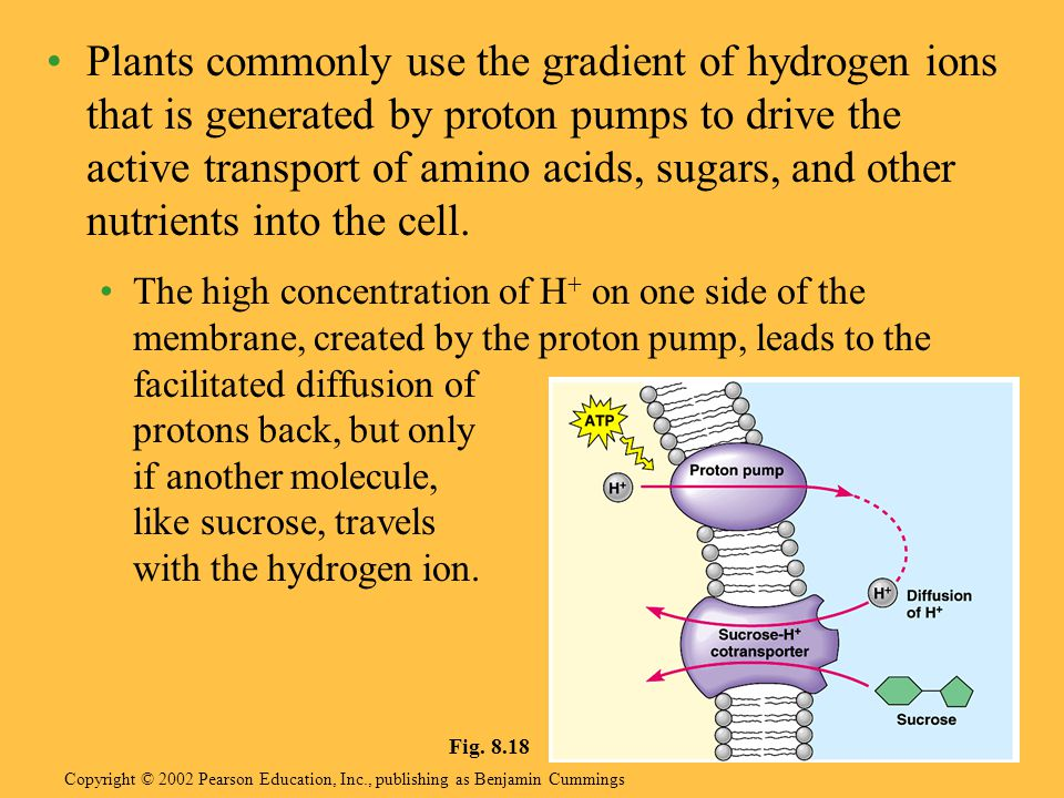 Plants commonly use the gradient of hydrogen ions that is generated by proton pumps to drive the active transport of amino acids, sugars, and other nutrients into the cell.