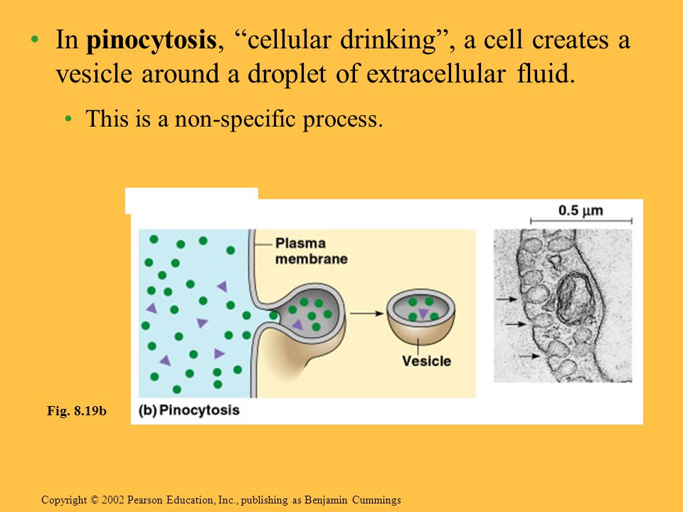 In pinocytosis, cellular drinking , a cell creates a vesicle around a droplet of extracellular fluid.